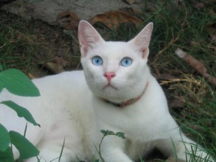 แมวขาวมณี