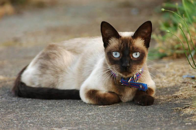 ประวัติแมวไทย