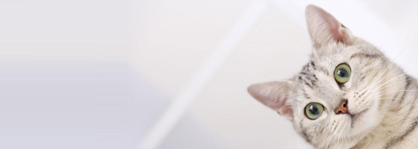 มาดูกันคะว่า แมวที่มีขนาดเล็กที่สุดในโลก คือพันธ์ุอะไร