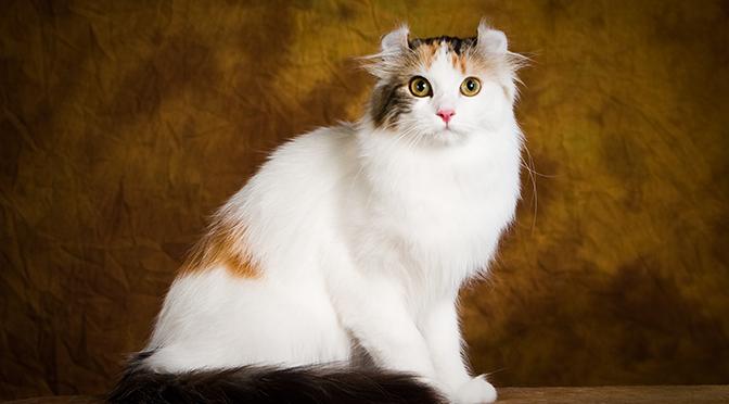 แมวพันธุ์ อเมริกัน เคิร์ล American Curl