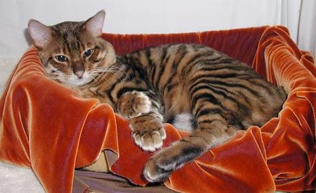 แมวพันธุ์ทอยเกอร์  (Toyger)