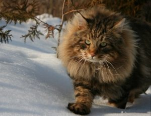 แมวป่านอร์เวย์