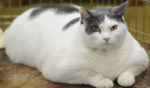 ทำไมแมวถึงอ้วน