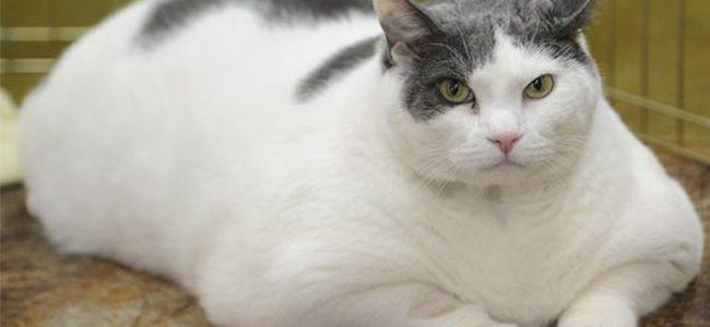 ทำไมแมวถึงอ้วน ?