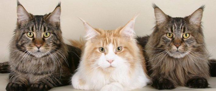 แมวพันธุ์เมนคูน (Main Coon)
