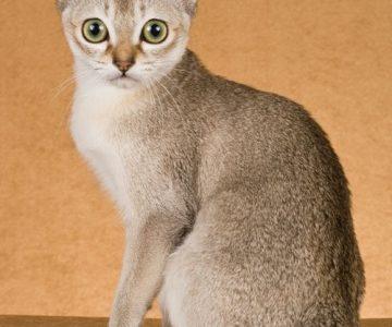 แมวพันธุ์สิงหะปุระ (Singapura)