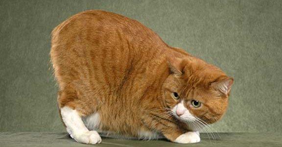 แมวพันธุ์แมงซ์ (Manx)