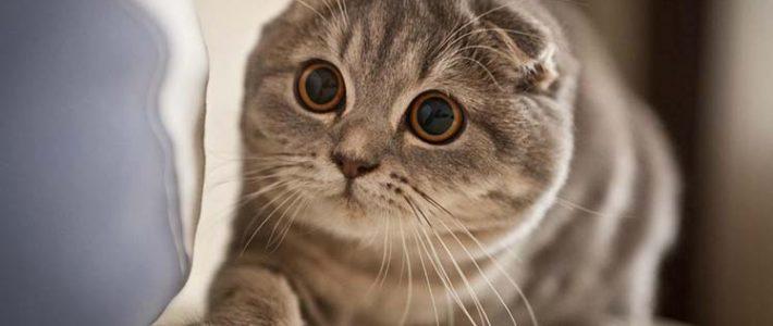 แมวสก็อตทิช โฟลด์