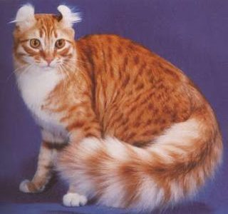 แมวพันธุ์อเมริกัน เคิร์ล (American curl cat)