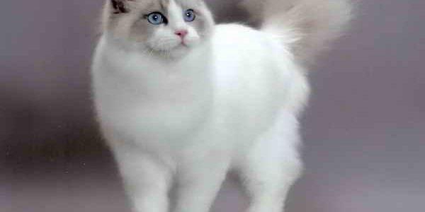 แมวพันธุ์แร็กดอลล์ (Ragdoll)