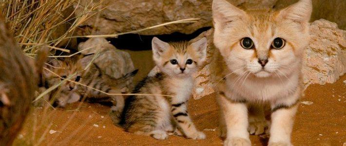 แมวทราย (sand cat)