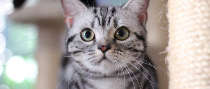 แมวอเมริกัน ช๊อตแฮร์ (American shorthair)