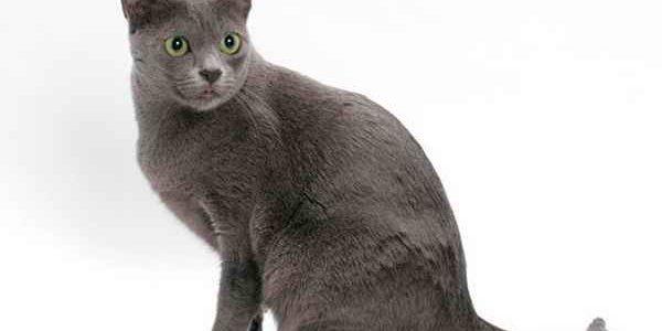แมวสีสวาดหรือแมวโคราช (Korat cat)