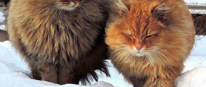 แมวพันธุ์ไซบีเรียน (Siberian)