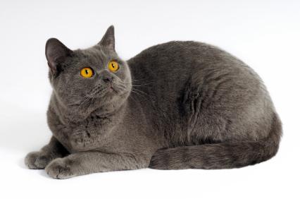 แมวพันธุ์ชาร์เทอร์ (Chartreux)