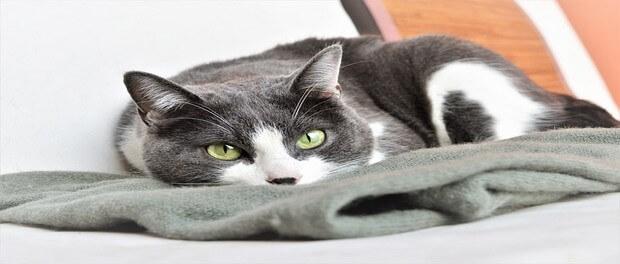 โรคลูคีเมียแมว อาการและวิธีป้องกัน
