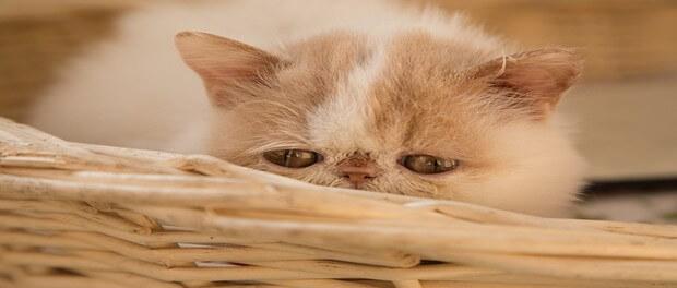 5 ขั้นตอน เตรียมตัวเลี้ยงแมวสายพันธุ์ต่างประเทศ