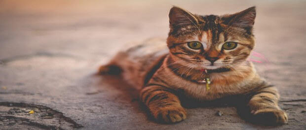 สายพันธุ์แมวขนสั้น ที่นิยมเลี้ยง