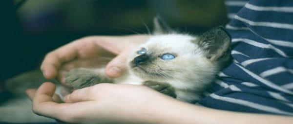 เรื่องน่ารู้ ก่อนเลี้ยงแมวไทย