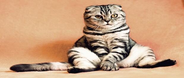 แมวไทย แมวสายพันธุ์ต่างประเทศแตกต่างกันอย่างไร