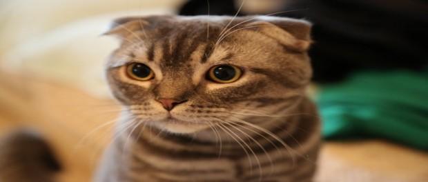 สายพันธุ์แมวสวยงาม ที่คนไทยนิยมเลี้ยง