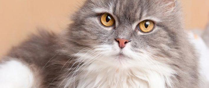 เปอร์เซีย (Persian Cat)