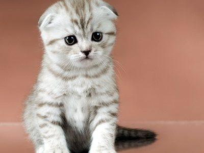 แมว สก๊อตทิช โฟล์ด [Scottish fold]