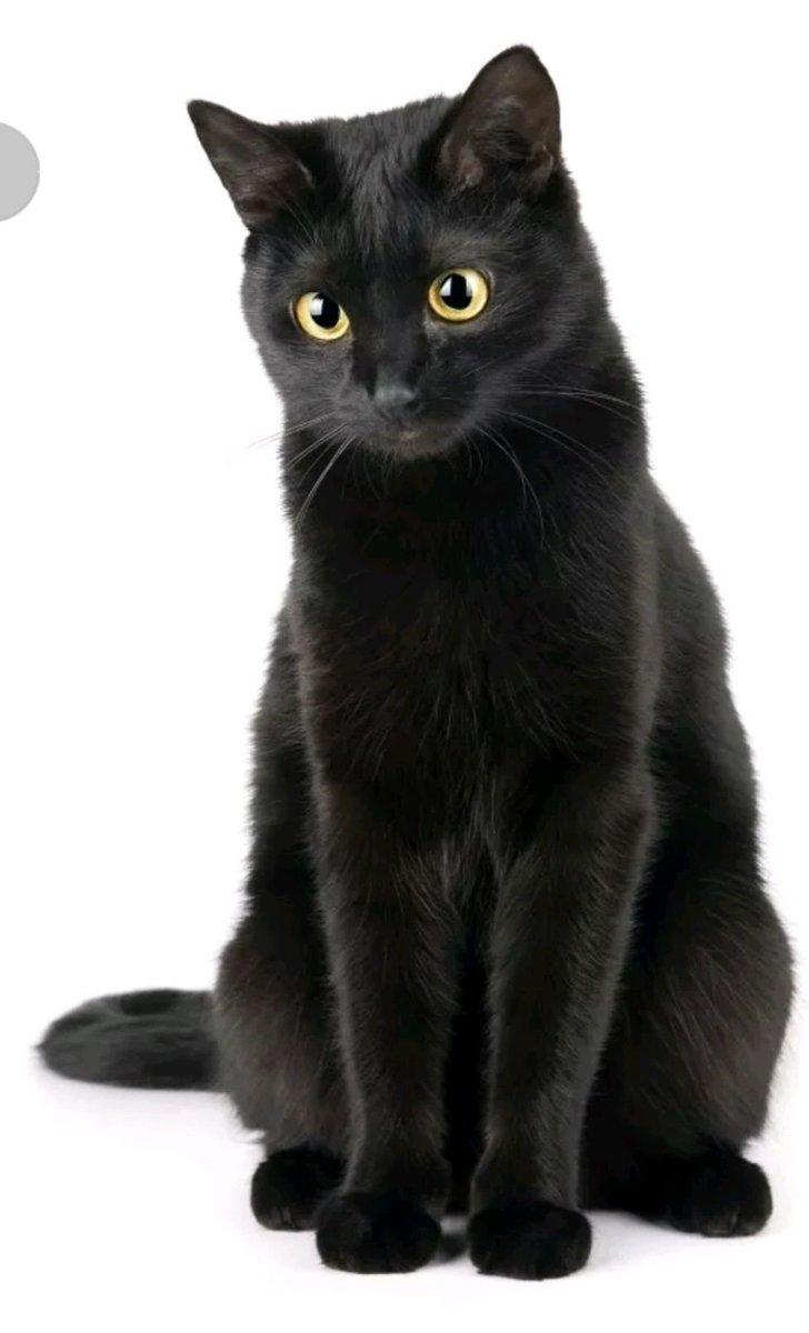 แมวดำนิลรัตน์