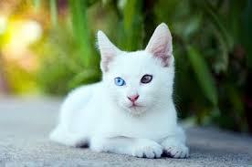 แมวขาวมณี หรือ ขาวปลอด (Khao Manee)