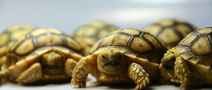 """""""เต่ายักษ์ซูลคาต้า"""""""