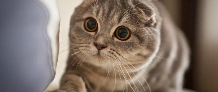 แมวพันธุ์สก็อตติช โฟลด์