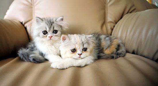 รวมพันธุ์แมวที่คนไทยนิยมเลี้ยงมากที่สุด