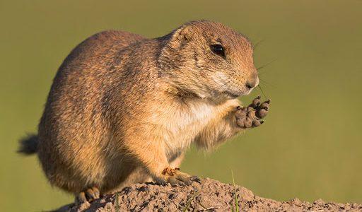 การเลี้ยงดูแพรรีด็อก (Prairie dog)