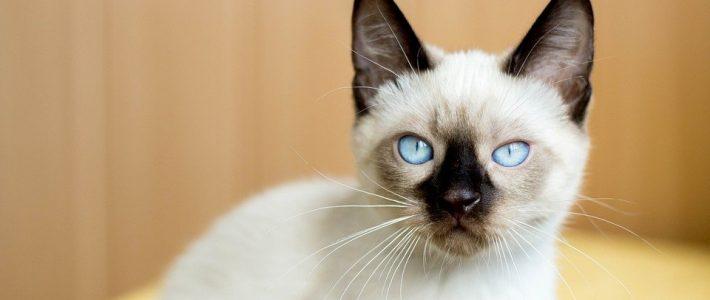 แมวไทย
