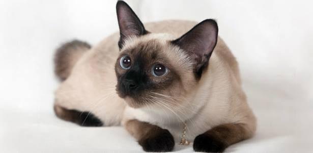 แมววิเชียรมาศ (Siamese cat)