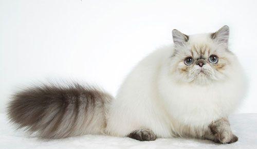 แมวพันธุ์หิมาลายัน (Himalayan Persian)