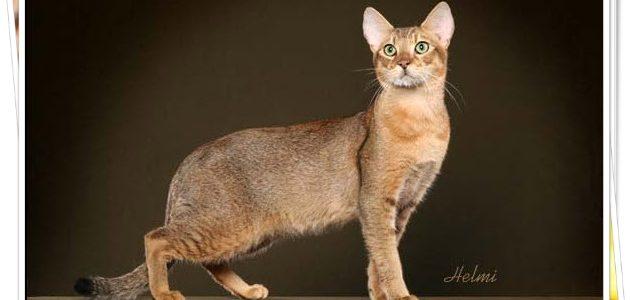 แมวอะบิซิเนียน (Abysinian cat)