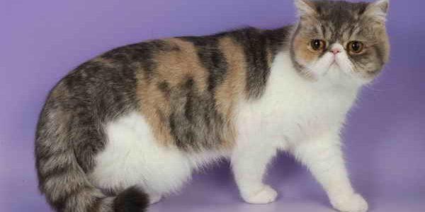 แมวพันธุ์เอกซ์โซติก ขนสั้น (Exotic Shorthairs)