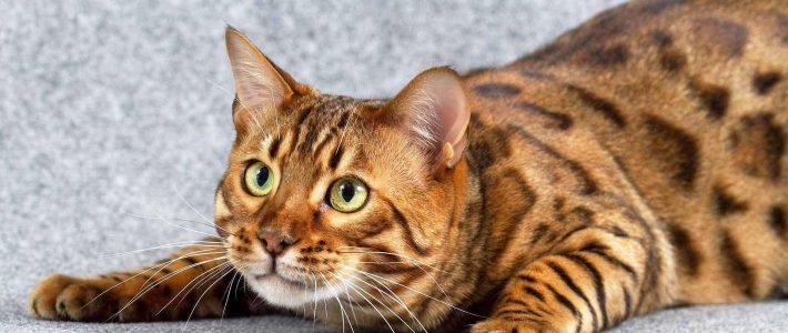แมวเบงกอล…เสือดาวน้อยผู้ไม่กลัวน้ำ