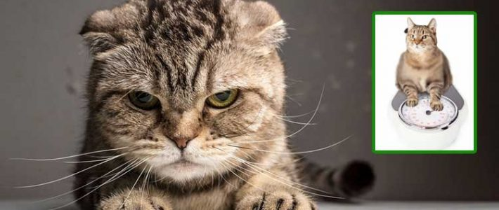 แมวน้ำหนักลดลงเกิดจากอะไร?