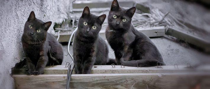 แมวพันธุ์บอมเบย์ (Bombay)