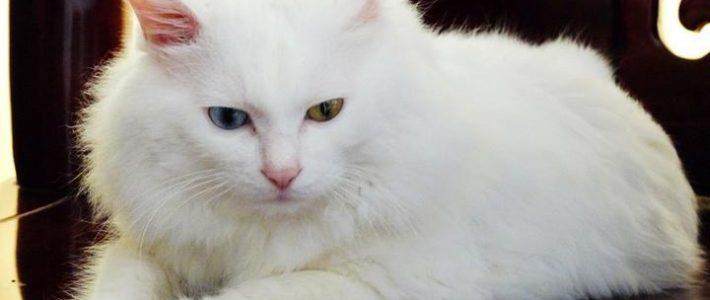 สายพันธุ์แมวที่แพงที่สุดในโลก