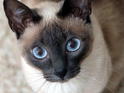 แมววิเชียรมาศ (Siamese)