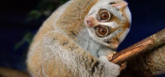 ลิงลมหรือนางอายสัตว์ป่าคุ้มครองที่กำลังถูกนำมาเลี้ยงเป็นสัตว์เลี้ยง