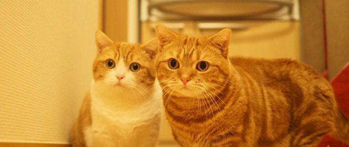 แมวพันธุ์มันช์กิ้น (Munchkin)