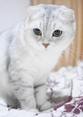 ความรู้เกี่ยวกับแมวพันธุ์สก็อตติช โฟลด์