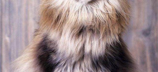 แมวพันธุ์ เมนคูน