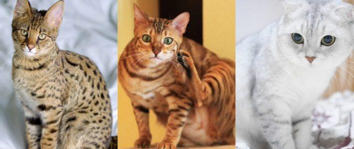5 อันดับแมวราคาแพงที่สุดในโลก